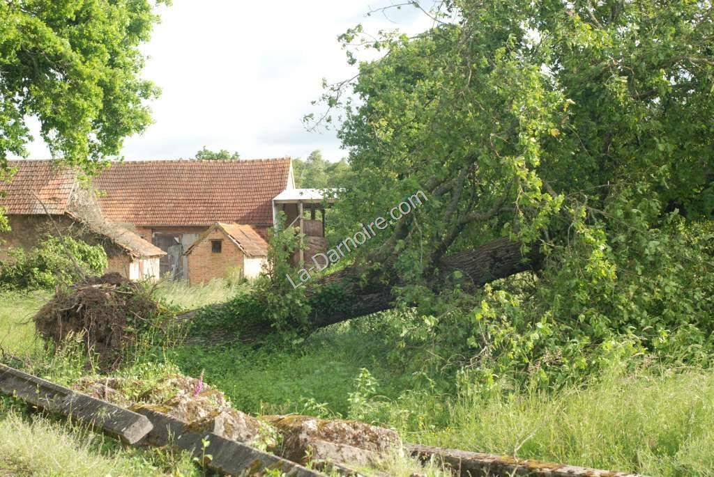 An uprooted old oak tree