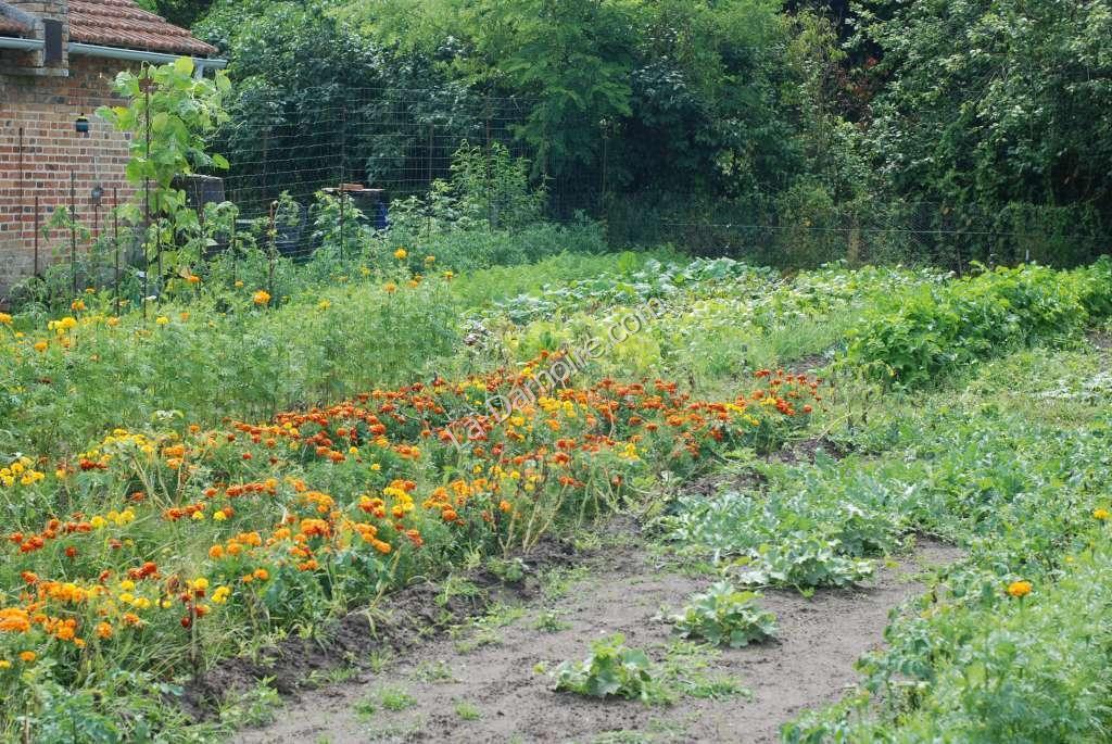 Marigolds between the vegetable rows